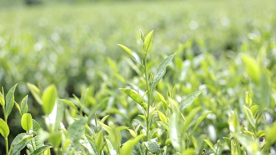 お茶の葉イメージ